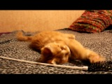 HELENA HOUSE Clever котёнок мейн-кун 3.5 мес )))